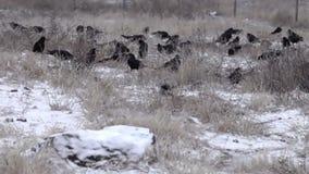 Rebanho das gralhas alimentadas no campo alqueivado coberto de neve video estoque