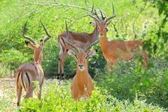 Rebanho das impalas masculinas Fotos de Stock