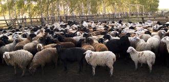 Rebanho das ovelhas imagens de stock