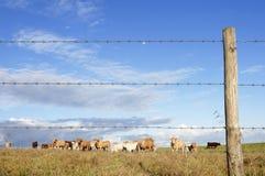 Rebanho das vacas Imagens de Stock Royalty Free