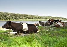 Rebanho das vacas Imagens de Stock