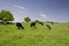 Rebanho das vacas Foto de Stock