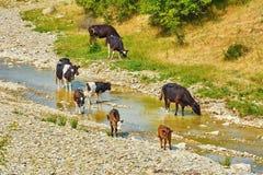 Rebanho das vacas Fotos de Stock