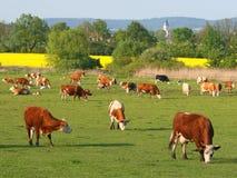 Rebanho das vacas Imagem de Stock Royalty Free