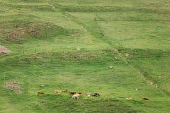 Rebanho das vacas da montanha que pastam no montanhês na mola nas montanhas Imagens de Stock