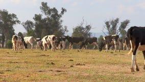 Rebanho das vacas de leiteria que pastam em uma exploração agrícola vídeos de arquivo