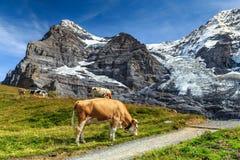 Rebanho das vacas e da geleira alta, Bernese Oberland, Suíça Fotografia de Stock Royalty Free
