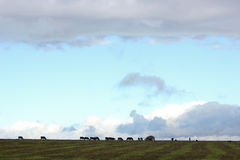 Rebanho das vacas em um campo Imagens de Stock