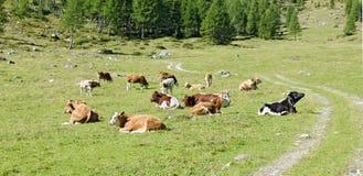 Rebanho das vacas em um prado da montanha Imagem de Stock