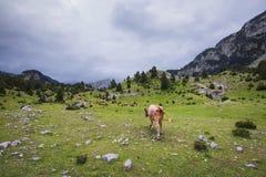 Rebanho das vacas em um vale da montanha Imagem de Stock