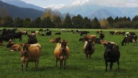 Rebanho das vacas em uma exploração agrícola em Nova Zelândia filme