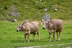 Rebanho das vacas no campo verde bonito, Suíça imagens de stock royalty free
