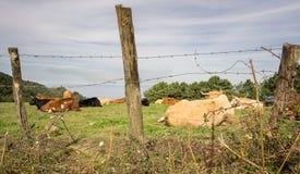 Rebanho das vacas no campo verde na costa Fotos de Stock Royalty Free