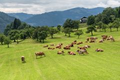 Rebanho das vacas no pasto, Áustria fotografia de stock