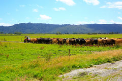 Rebanho das vacas que andam em seguido na estrada secundária na geleira do Fox, Nova Zelândia Imagem de Stock