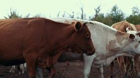 Rebanho das vacas que andam no pasto na fazenda de criação Vacas brancas e vermelhas no rancho filme