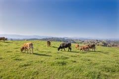 Rebanho das vacas que pastam a grama no campo de Cantábria imagem de stock royalty free