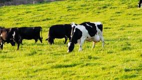 Rebanho das vacas que pastam o pasto fresco video estoque