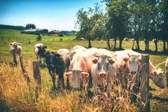 Rebanho das vitelas novas que olham a câmera no campo do verde do verão Fotos de Stock
