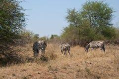 Rebanho das zebras Fotografia de Stock Royalty Free