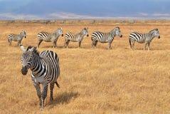 Rebanho das zebras Fotos de Stock