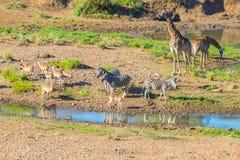Rebanho das zebras, dos girafas e dos antílopes pastando no riverbank no parque nacional de Kruger, destino principal de Shingwed Fotografia de Stock Royalty Free