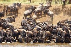 Rebanho das zebras (Equids africano) imagem de stock royalty free