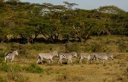 Rebanho das zebras no savana fotografia de stock
