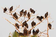 Rebanho de abutres pretos Foto de Stock