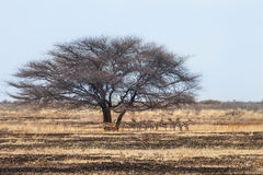Rebanho de antílopes da gazela Foto de Stock Royalty Free
