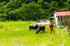 Rebanho de búfalos de água na vila rural, área da conservação de Annapurna, Nepal fotos de stock royalty free
