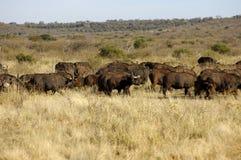 Rebanho de búfalos de cabo Fotografia de Stock