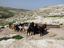 Rebanho de beber das cabras Foto de Stock Royalty Free