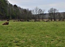 Rebanho de Bison Near uma floresta imagem de stock