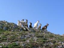 Rebanho de cabras de montanha Imagens de Stock