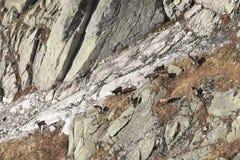 Rebanho de cabras de montanha em seu habitat natural Imagens de Stock