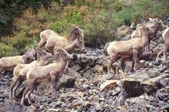 Rebanho de cabras de montanha selvagens, Denver, CO Foto de Stock