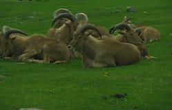 Rebanho de carneiros de Barbary imagens de stock