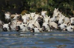 Rebanho de cavalos de Camargue Imagem de Stock