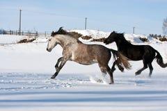 Rebanho de cavalos running Fotografia de Stock