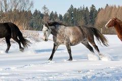 Rebanho de cavalos running Imagem de Stock Royalty Free