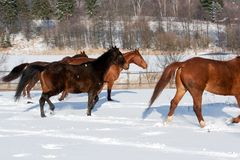 Rebanho de cavalos running Fotos de Stock Royalty Free