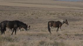 Rebanho de cavalos selvagens em Utá vídeos de arquivo
