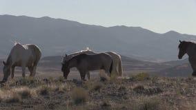 Rebanho de cavalos selvagens no deserto de Utá vídeos de arquivo