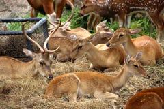 Rebanho de cervos Imagem de Stock