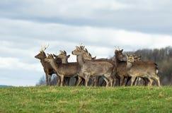 Rebanho de cervos Imagens de Stock Royalty Free