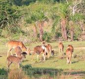 Rebanho de cervos cingaleses da linha central, ceylonensis da linha central da linha central imagem de stock