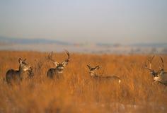 Rebanho de cervos da mula durante a rotina Imagens de Stock