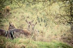 Rebanho de cervos de fallow Foto de Stock Royalty Free