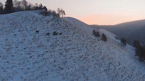 Rebanho de cervos selvagens na montanha video estoque